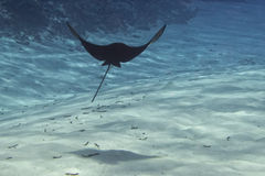 Eagle ray manta while diving in Maldives Royalty Free Stock Image