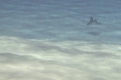 Eagle ray manta while diving in Maldives Stock Photos