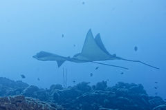Eagle ray manta while diving in Maldives Royalty Free Stock Photo