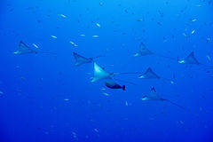 Eagle ray manta while diving in Maldives Stock Image