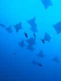 Eagle ray Royalty Free Stock Photos