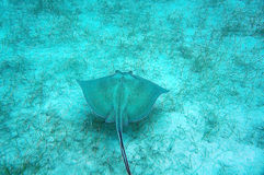 Eagle Ray on Ocean Floor. Eagle Ray on casually swimming on the ocean floor royalty free stock image