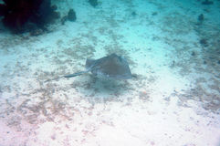 Eagle Ray on Ocean Floor Stock Image