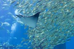 Eagle Ray och sardiner på ett offentligt akvarium Arkivbilder