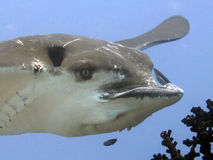 Eagle Ray- - Raie-aigle Lizenzfreie Stockbilder