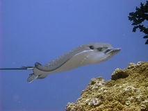 Eagle Ray- - Raie-aigle Stockfotos