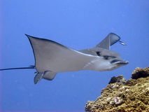 Eagle Ray - Raie aigle. Common eagle ray - Raie aigle commune Stock Image