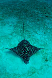 Eagle ray in the sand Stock Images