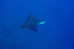 Eagle ray swimming Stock Photo