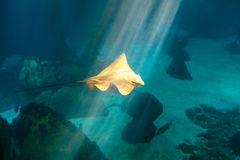 Eagle Ray underwater. Eagle Ray, Myliobatis aquila, with sun rays cruises over the deep seafloor. Eagle Ray is a cartilage fish of Myliobatidae family, common in Stock Photography