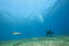 Eagle ray, underwater photographer and ocean Royalty Free Stock Image