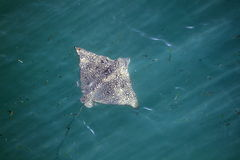 Eagle Ray in Water Stock Image