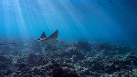 Eagle Ray Widescreen. A graceful eagle ray soars above the corals Stock Photography