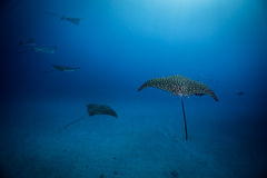 Eagle Rays into the blue. Stock Image