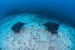 Eagle Rays manchado nas águas profundas Foto de Stock