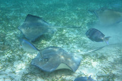 Eagle Rays. Many Eagle rays and fish swimming in shallow water royalty free stock images