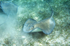 Eagle Rays. Many Eagle rays swimming in shallow water royalty free stock photography