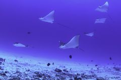 Eagle rays, mexico Stock Image