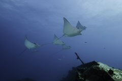 Eagle rays Mexico royalty free stock image