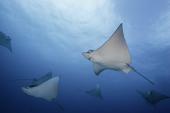 Eagle Rays Mexiko Stockbild