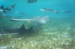 Eagle Rays and Nurse Sharks. Many Eagle rays and Nurse sharks swimming in shallow water royalty free stock images