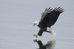 Eagle reaches for fish. stock photography