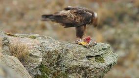 Eagle real come a rapina vídeos de arquivo