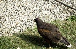 Eagle real falconry. Golden eagle in falconry, captive animals royalty free stock photos