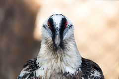 Eagle with red eyes Royalty Free Stock Image