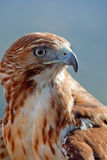 Eagle of red tail (Buteo jamaicensis) Royalty Free Stock Images