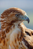 Eagle of red tail (Buteo jamaicensis) Royalty Free Stock Photos