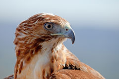 Eagle of red tail (Buteo jamaicensis) Royalty Free Stock Image