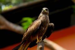 Eagle repéré par Indien Images stock