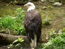 Eagle at rest Royalty Free Stock Photos