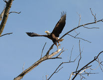 Eagle Rising To Flight chauve adulte photographie stock