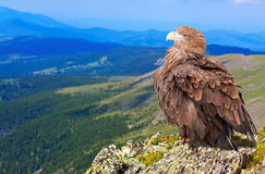Eagle on rock Royalty Free Stock Photos
