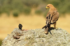 Eagle on the rock with a rabbit and a magpie Stock Image