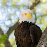 Eagle with Ruffled Feathers Stock Photography