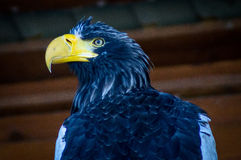 Eagle in the Russian Park of birds. Royalty Free Stock Photo