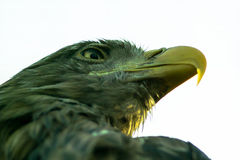 Eagle in the Russian Park of birds. Stock Photos