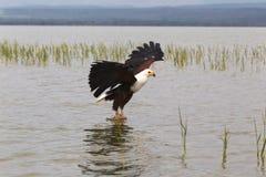 Eagle rybak Eagle od Jeziornego Baringo Zdjęcie Royalty Free