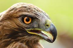 Eagle's eye. A close-up of eagle with orange big eyes Royalty Free Stock Photo