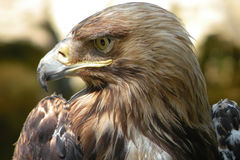 The Eagle`s eyes. The Eagle living near waterfall in South Russia stock photos