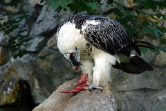 Eagle's feast. Taken in zoo, at animal feeding time royalty free stock images