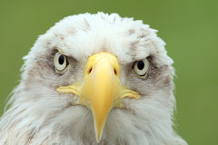 Eagle´s flüchtiger Blick Stockfoto