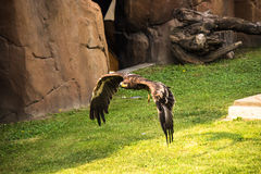 Eagle`s fly Stock Photography
