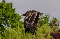 Eagle`s fly Royalty Free Stock Images