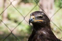 Steppe eagle behind cage stock images