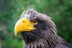 The eagle`s look, looking forward. From a close distance royalty free stock images