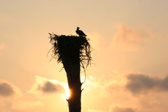 Eagle's nest. Eagle guarding nest in Florida Stock Photography